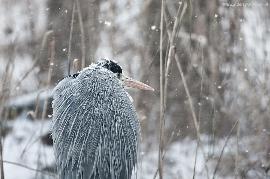 Czapla w zimie