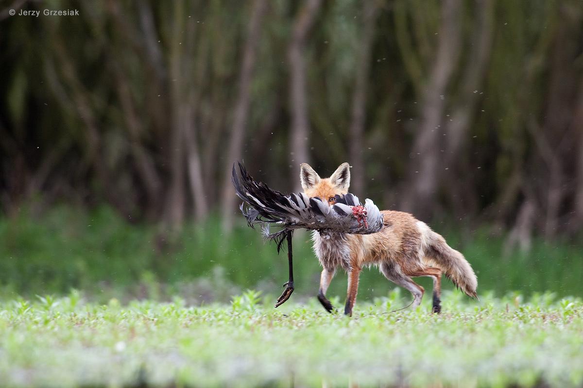 Lis z padliną żurawia